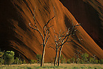 Red sandstone of Uluru provides a backdrop to dead gum trees