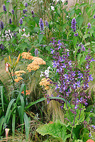 Salvia need id with Achillea, Agastache, daylilies Hemerocallis, ornamewntal grass, for blue and orange color theme garden perennials plantings