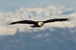 Bald eagle spreads its wings over Kachemak Bay in Homer, Alaska.