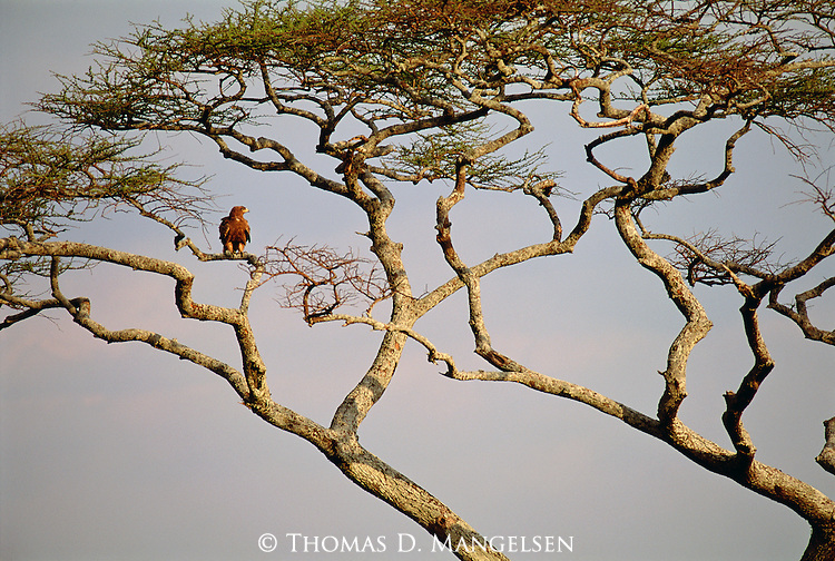 A tawny eagle perches in an acacia tree in Africa.