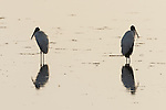 Ding Darling National Wildlife Refuge, Sanibel Island, Florida; a pair of wood storks reflect in the shallow water while foraging for food, backlit by early morning sunlight