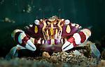 harlequin swimming crab: Lissocarcinus laevis, in front of tube-dwelling anemone, Bunaken National Park, Indonesia