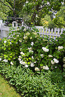Hydrangea along white picket fence