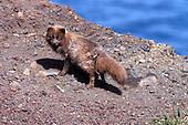 An adult Arctic Fox (Alopex lagopus)