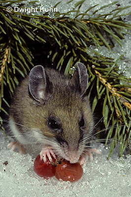 MU12-092z  Deer Mouse - with berry - Peromyscus maniculatus