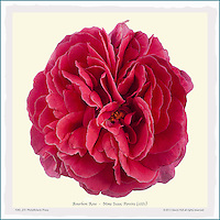 PhotoBotanic Print - Old rose 'Mme Isaac Pereire' - Bourbon (1881), flower print, silhouette