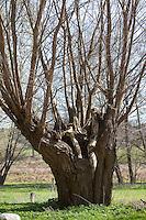Uralte Kopfweide, Kopf-Weide als Lebensraum für viele Tiere, Weide, Salix spec., Kopfbaum, Baumhöhle, pollard-willow, pollarded willow