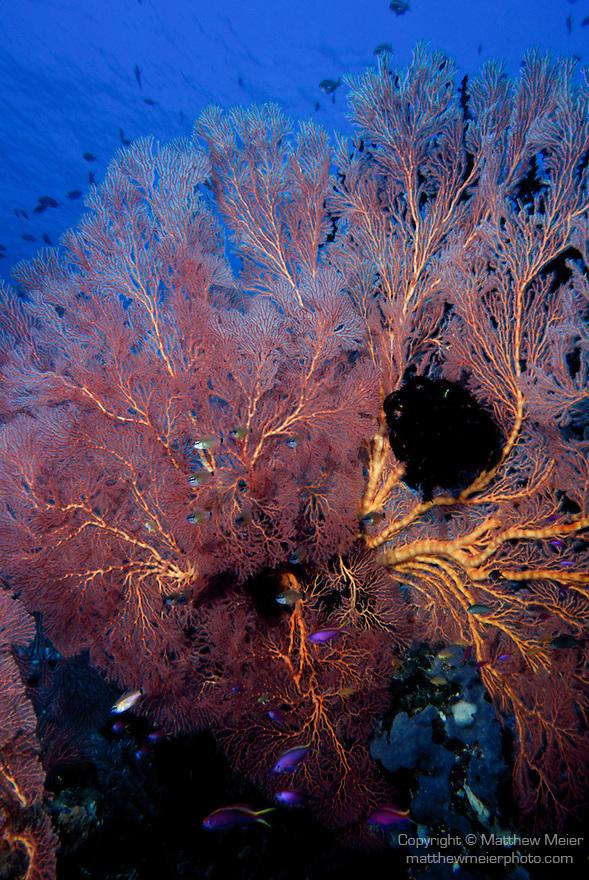 Milne Bay, Papua New Guinea; Soft Coral Sea Fan , Copyright © Matthew Meier, matthewmeierphoto.com