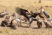 African white-backed vultures on the ground enforcing the pecking order to feed of a carcass, Kenya, Africa (photo by Wildlife Photographer Matt Considine)