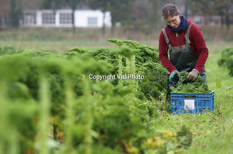 Foto: VidiPhoto<br /> <br /> HEMMEN - Wat de pot schaft... In het buurtschap Hemmen in de Betuwe oogst Welmoed de Waard van biologische tuinderij De Stroom donderdag de eerste boerenkool. Tot nog toe was het te warm voor de winterkost. De groente is bestemd voor de groentepakketten die de tuinderij iedere week bij 300 huishoudens, winkels en bedrijven bezorgt. De leverancier van kersverse biologische groenten en fruit -gerund door een drietal dames- mag zich in een gestaag groeiende stroom klanten verheugen. De combinatie van streekproduct, vers en biologisch blijkt succesvol en heeft ook geen last van prijsval door de Russische boycot, zoals bij veel telers en kwekers. Tot totaal worden 35 producten geoogst en krijgen abonnees iedere week een pakket met daarin vijf verschillende groenten. De Stroom bepaalt de samenstelling. Klanten krijgen tot het eind van de oogsttijd in februari wat de pot schaft.