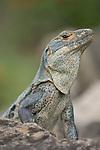 Ocotal, Guanacaste, Costa Rica; Green Iguana (Iguana iguana) , Copyright © Matthew Meier, matthewmeierphoto.com All Rights Reserved