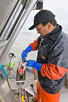 Commercial fisherman Bill Webber of Gulkana Seafoods direct carefully handles, and processing his catch of King and Sockeye salmon on his boat, and sells them directly to restaurant markets in the U.S. states.