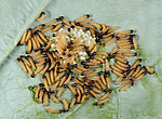 Large or Cabbage White Butterfly eggs with newly hatched caterpillars, Pieris brassicae, larvae, laid on host plant of cabbage leaf, yellow, cluster, group, macro.United Kingdom....
