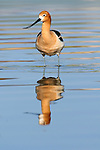 An American Avocet (Recurvirostra americana) is reflected in the shallow waters of a pond in Northern Colorado