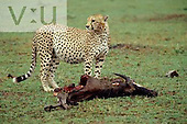 An adult male Cheetah with swollen belly form gorging on Topi kill. Masai Mara Game Reserve, Kenya