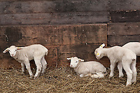 Sheep and lambs at Ferme Eboulmontaise farm in the Charlevoix city of Les Éboulements, Qc. Charlevoix lambs are the first food product in North America to be legally protected based on its region of origin.