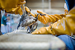 International Bird Rescue workers clean oil from a laughing gull at Ft. Jackson, Louisiana.   Oil makes it difficult for birds to repel water, creating secondary issues related to thermoregulation...Jenn Bruno, DVM, Jeanie Beaston, Paraprofessional, Jocelyn Selin, DVM Student, and Erica Miller, DVM...Employees and volunteers from International Bird Rescue and Tri-State Bird Rescue and Research, Inc. work to triage incoming birds impacted by the Deepwater Horizon Oil Spill.  To date, the treatment facility has seen more than 800 birds brought in by wildlife workers for oil-related injuries and illnesses.  When a bird is covered in oil, it's ability to repel water is severely impacted, leaving many birds without the ability to thermoregulate, forage for food, or properly hydrate.  Incoming birds must first be stabilized, warmed, fed, and hydrated before they are candidates for cleaning.  Once cleaned of oil, the birds are monitored.  Once they are clean and stable, the birds are evaluated for re-release...Deepwater Horizon Oil Spill.  The spill is estimated to be gushing 35,000 to 60,000 barells of oil into the ocean per day.  Difficulties installing monitoring devices at the source have made this number difficult to clearly ascertain.  The spill is among the world's worst.