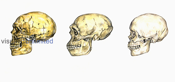 Illustration of hominid skulls, from left to right:  Homo neanderthalensis, Homo erectus, Homo sapiens