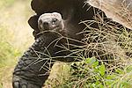 Rancho Primicias, Santa Cruz Island, Galapagos, Ecuador; one Galapagos Giant Tortoise (Geochelone elephantopus), Rancho Primicias is a working farm that allows tourists to view Galapagos Giant Tortoise (Geochelone elephantopus) living in the wild on their property , Copyright © Matthew Meier, matthewmeierphoto.com All Rights Reserved