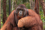 Orang Utans