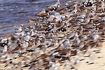 Ruddy turnstones on beach, New Jersey