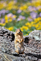 Columbia ground squirrel in Glacier National Park, Montana