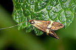 Longhorn Micro Moth, Nemophora degeerella, UK, male's antennae is up to 4 times as long as the wings and longer than any other British Moth