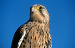 Kestrel, Falco tinnunculus, captive portrait striking powerful beak eyes, blue sky background.United Kingdom....