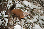 A pine marten runs across the snowy branches of a conifer in the Shoshone National Forest in Wyoming.