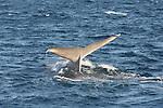 blue whale tail flukes
