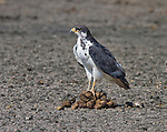 Augur Buzzard (Buteo augur) perched on a pile of dung, Serengeti National Park, Tanzania, Africa