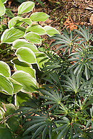Helleborus foetidus &amp; Hosta in dry shade