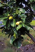 Noni tree is a native Hawaiian medicinal plant.