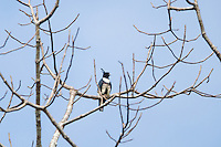 A Black Baza (Aviceda leuphotes) hunting froma perch in a tree. ( Cambodia)