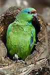 Amazon Parrot, Amazona festiva, Peru, Amazonian Jungle, perched in tree stump, green, captive. .South America....