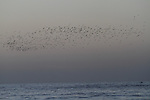 A view of flock of birds fly during sunset at the beach of Gaza sea on January 31, 2015. Photo by Mohammed Asad