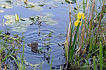 water rat/muskrat pauses to dine in wetland area of Lake Washington near iris and reeds