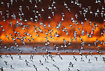 Dunlins in flight, Skagit River Valley, Washington, USA