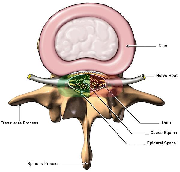 Anatomy of vertebral disc