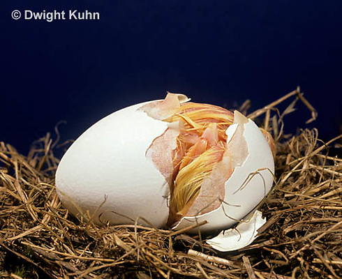 DG03-008x  Chicken - embryology, chick opening egg with egg tooth