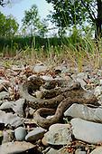 A Viperine Water Snake (Natrix maura) basking on rocks bordering a stream, Italy.