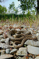 A Viperine Water Snake (Natrix maura) basking on rocks bordering a stream, Italy.