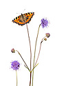 Devil's-bit Scabious {Succisa pratensis} and Small Tortoiseshell butterfly {Aglais urticae}  photographed against a white background in mobile field studio. Digital composite image. Peak District National Park, Derbyshire, UK. September.