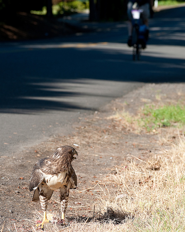 Sharp-shinned hawk eating a rabbit on the roadside near Beaverton, Oregon