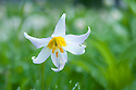Avalanche Lily, Sol Duc Park meadow, Olympic National Park, Washington.