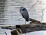 """Great Blue Heron, seen along the Esopus Creek, near Tina Chorvas Park during the """"Signs of Spring"""" nature walk guided by Steve Chorvas, and co-sponsored by the Esopus Creek Conservancy and the John Burroughs Natural History Society, on Saturday, March 22, 2014. Photo by Jim Peppler. Copyright Jim Peppler 2014, All rights Reserved."""