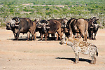 Spotted hyena with radiocollar, watching cape buffalo, Addo Elephant National Park, South Africa