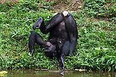 Bonobo female scratching her back on plants (Pan paniscus), Lola Ya Bonobo Sanctuary, Democratic Republic of Congo.