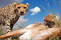 Cheetah (Acinonyx jubatus) mother and cub feeding on the carcass of a Grant's Gazelle (Nanger granti), Maasai Mara National Reserve, Kenya.