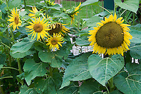 Different types of Helianthus annuus Sunflowers growing in garden. mixed yellow flowers, large and small, branched and single